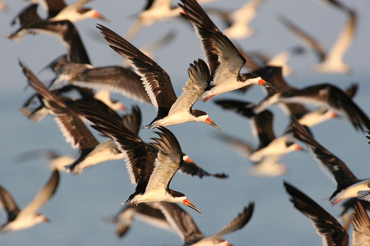 Colonial Waterbird Management And Monitoring In North Carolina