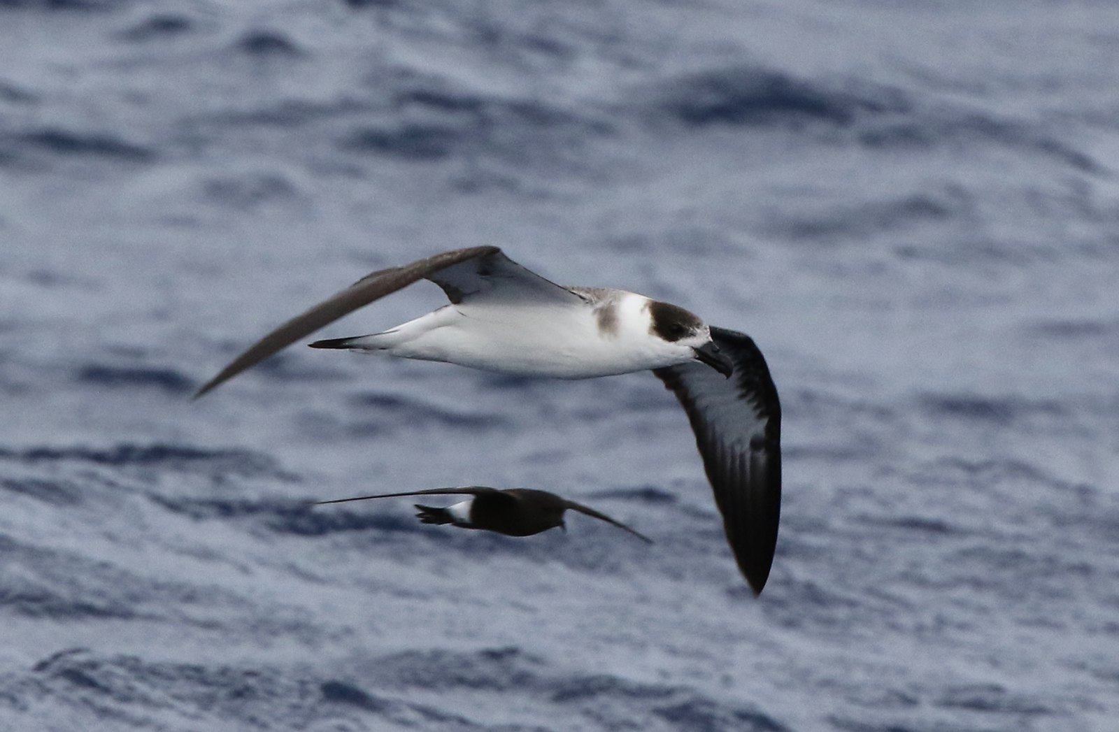 Tracking And Movement Patterns Of Black-capped Petrels Captured At-sea