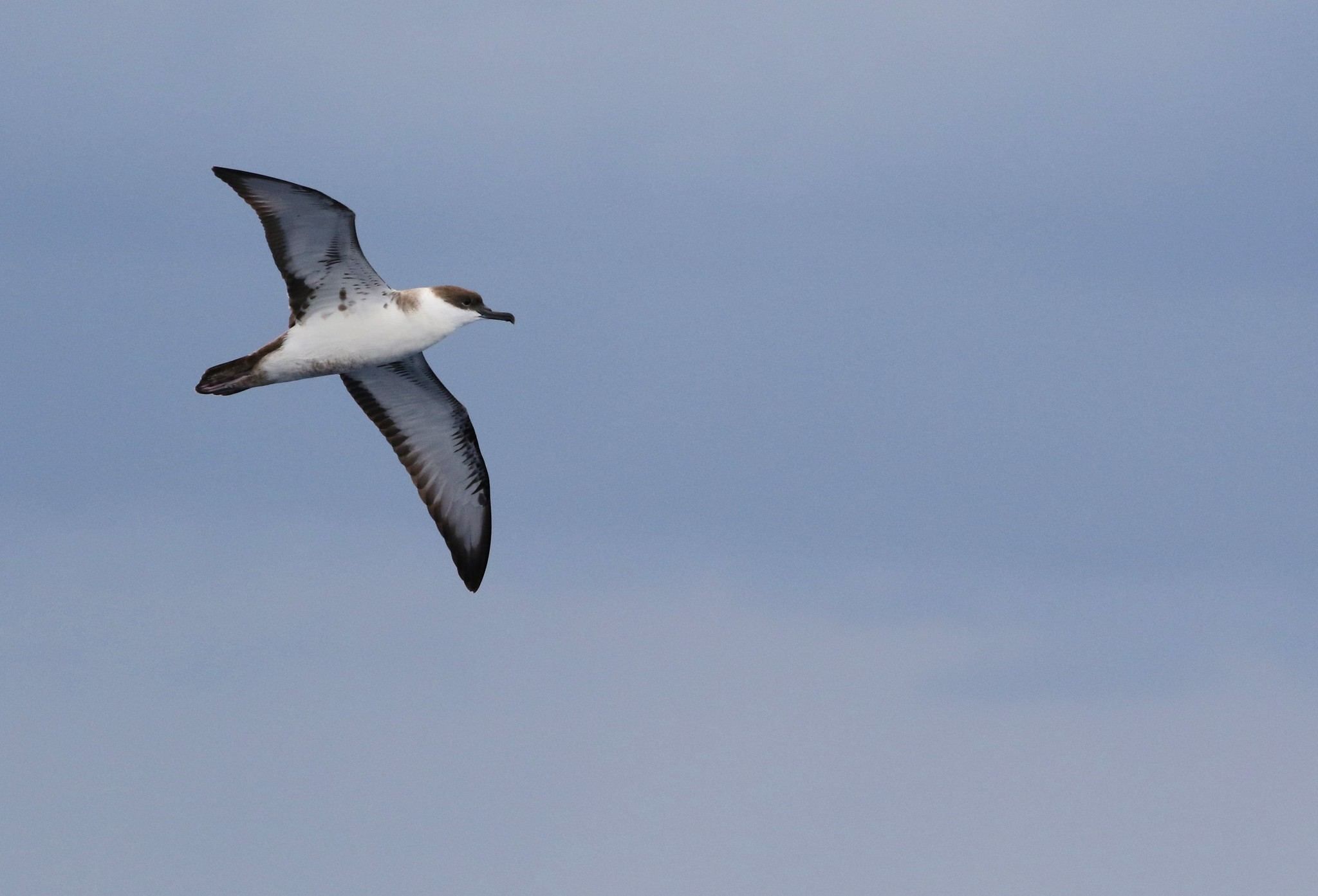 Plastic Ingestion And Bycatch Demographics Of Great Shearwaters From The Gulf Of Maine