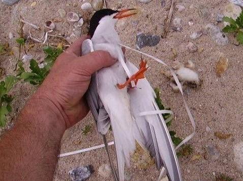 Entangled Tern